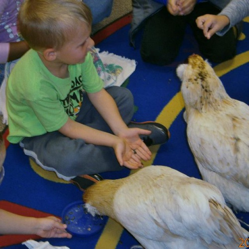 Preschoolers get up close with chickens (April 2017)